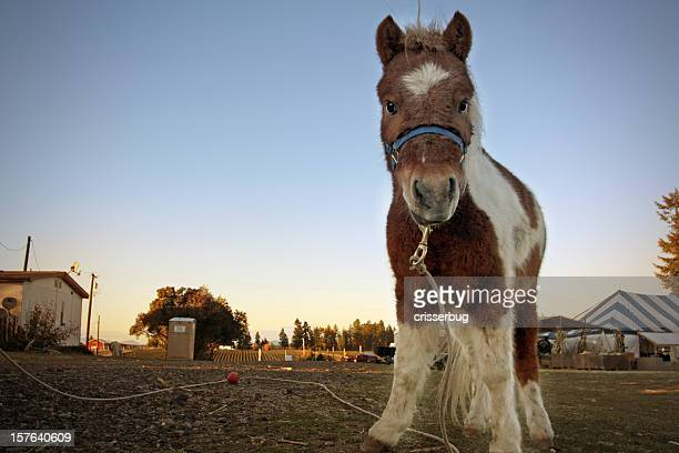Pony at Dusk