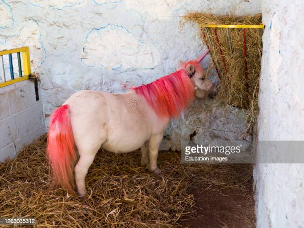 Pony dressed up as a unicorn at the Miniature Pony Centre, Dartmoor, Devon, UK .