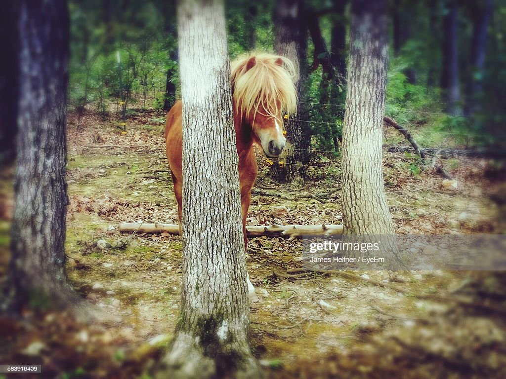 Pony Hiding Behind Tree Trunk In Forest