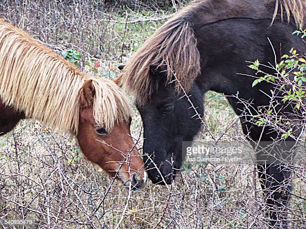 pony horses kissing on field - accouplement cheval photos et images de collection