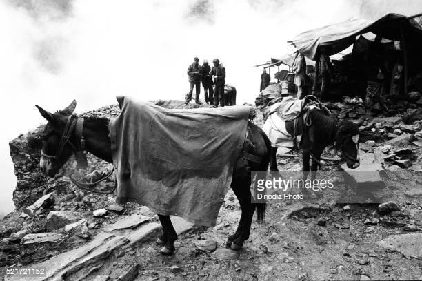 Pony in raincoat Valley of Flowers Ghangaria, Garhwal, Uttarakhand, India, Asia, 1978
