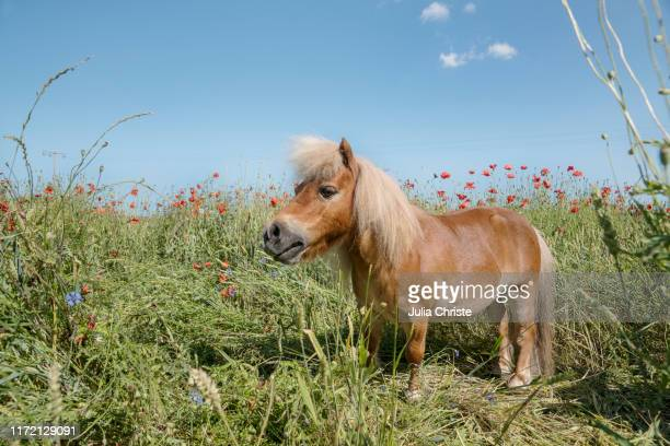 pony in sunny rural field with poppy wildflowers - pony stock pictures, royalty-free photos & images