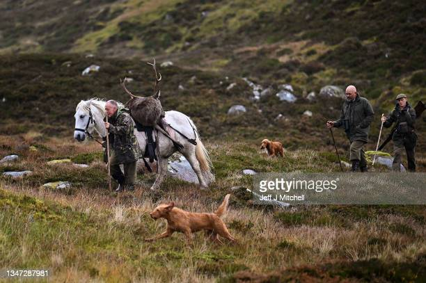Pony man David Brown, followed by Stalker Norman Stoddart and Charlie Connell walk with Torquil a Garron pony carrying a stag shot in Glen Markie on...