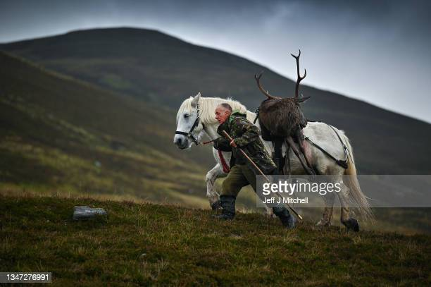 Pony man David Brown walks with Torquil a Garron pony carrying a stag shot in Glen Markie on Stronelairg on October 18, 2021 on the grounds of the...