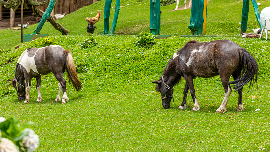 Pony walking freely on the farm, eating grass 1256902243