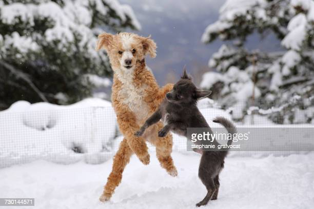 Poodle and Chihuahua dogs  playing in snow