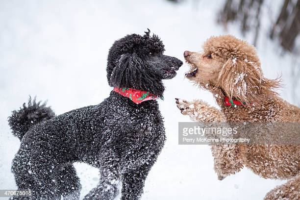 poodle arguing - standard poodle stock photos and pictures