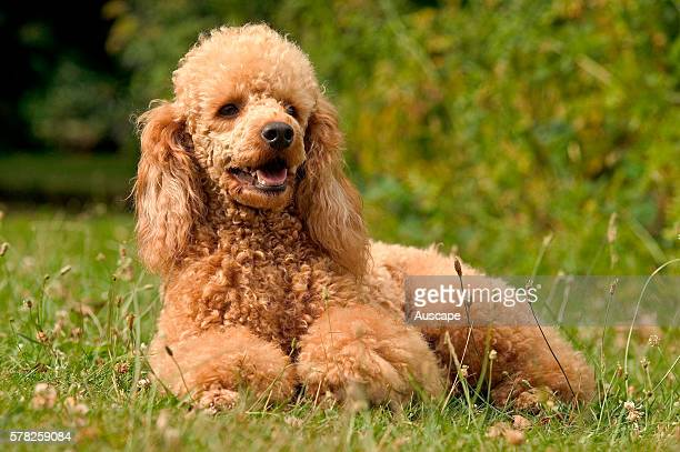 Poodle Canis familiaris lying down red color variant