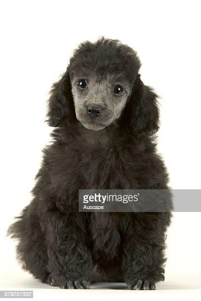 Poodle Canis familiaris puppy studio photograph
