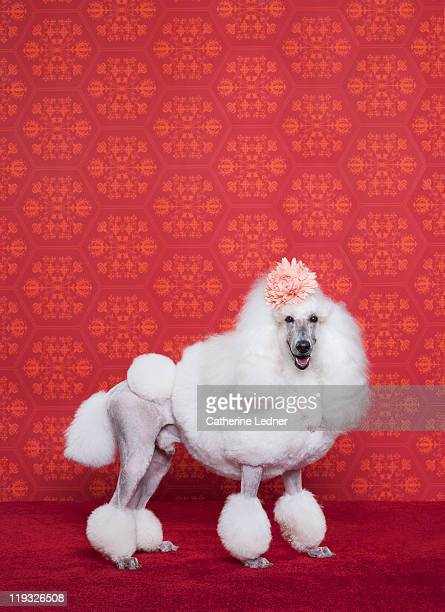 Poodle (Canis lupus familiaris