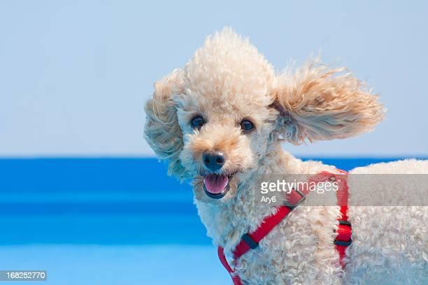 Pudel Hund an einer Leine