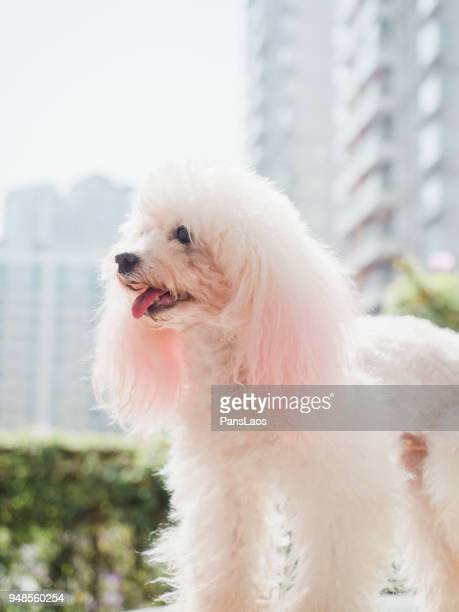 Mini Poodle Haircuts Stock Photos And Pictures Getty Images