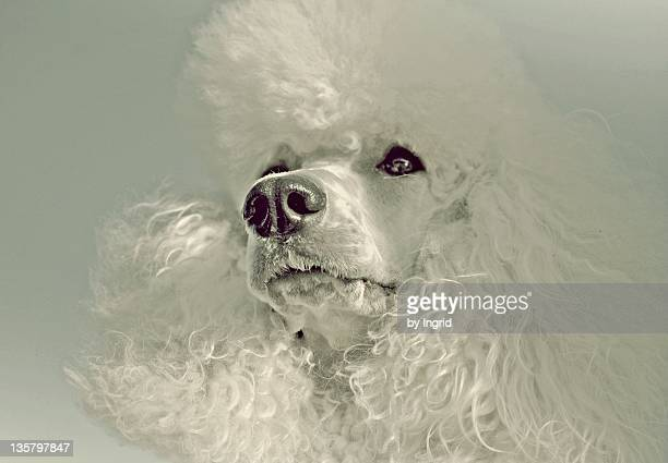 poodle dog - standard poodle stock photos and pictures