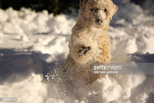 Poodle dog playing in the snow