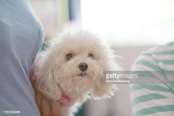 poodle dog portrait pictiure - poodle stock pictures, royalty-free photos & images