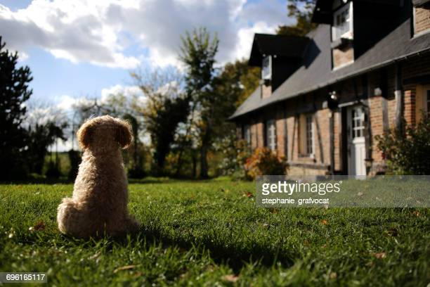 Poodle dog sitting in a garden