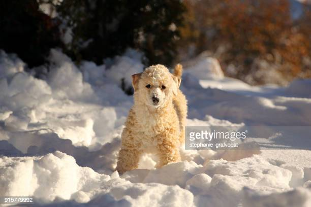 Poodle dog standing in the snow