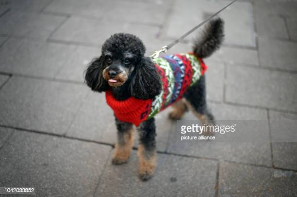 Poodle hybrid Rusty wears a fashionable garment against the cold in Wiesbaden Germany 6 January 2017 Photo Susann Prautsch/dpa | usage worldwide