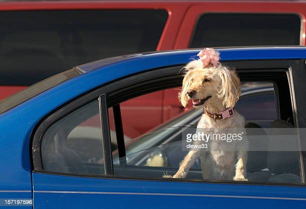 Poodle in a Parking Lot