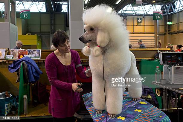 A poodle is groomed by its owner on the first day of Crufts Dog Show on March 10 2016 in Birmingham England First held in 1891 Crufts is said to be...