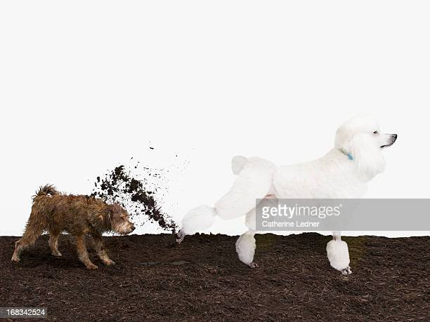 Poodle kicking dirt in Mutt's face