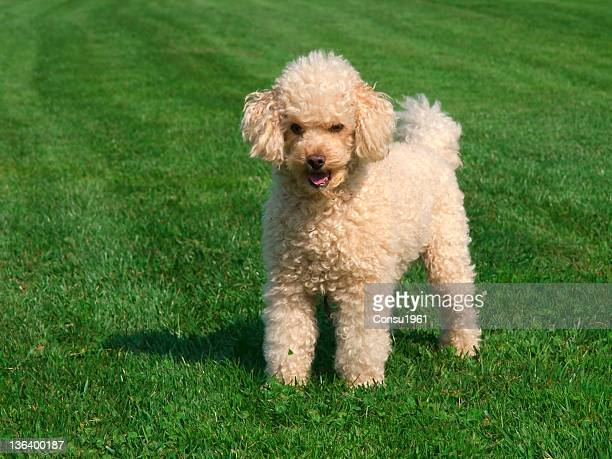 poodle - miniature poodle stock photos and pictures