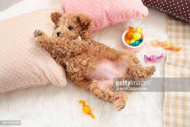poodle - animal abdomen stock photos and pictures