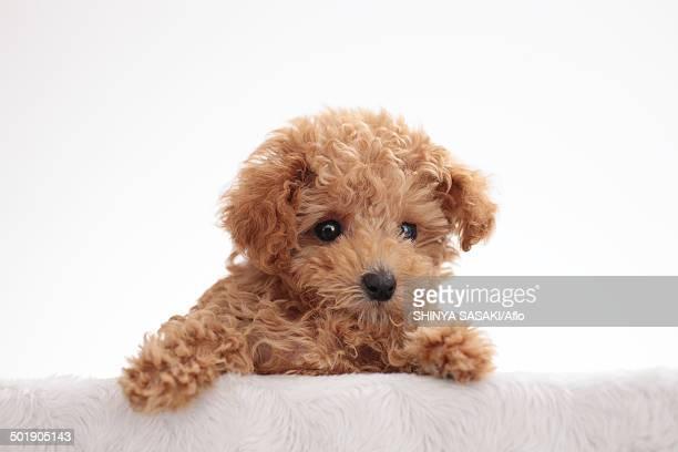 poodle - caniche toy photos et images de collection