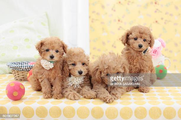 poodle - hairy balls stock photos and pictures