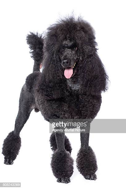 60 Top Standard Poodle Pictures, Photos, & Images - Getty Images