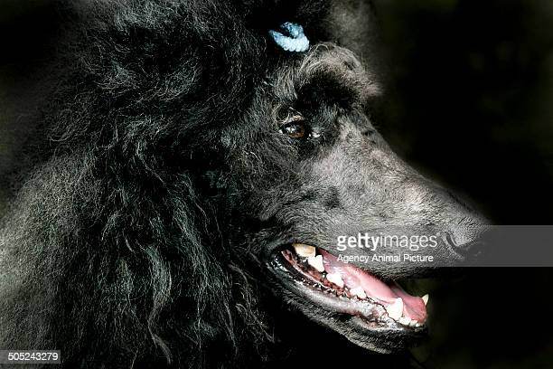 poodle - standard poodle stock photos and pictures