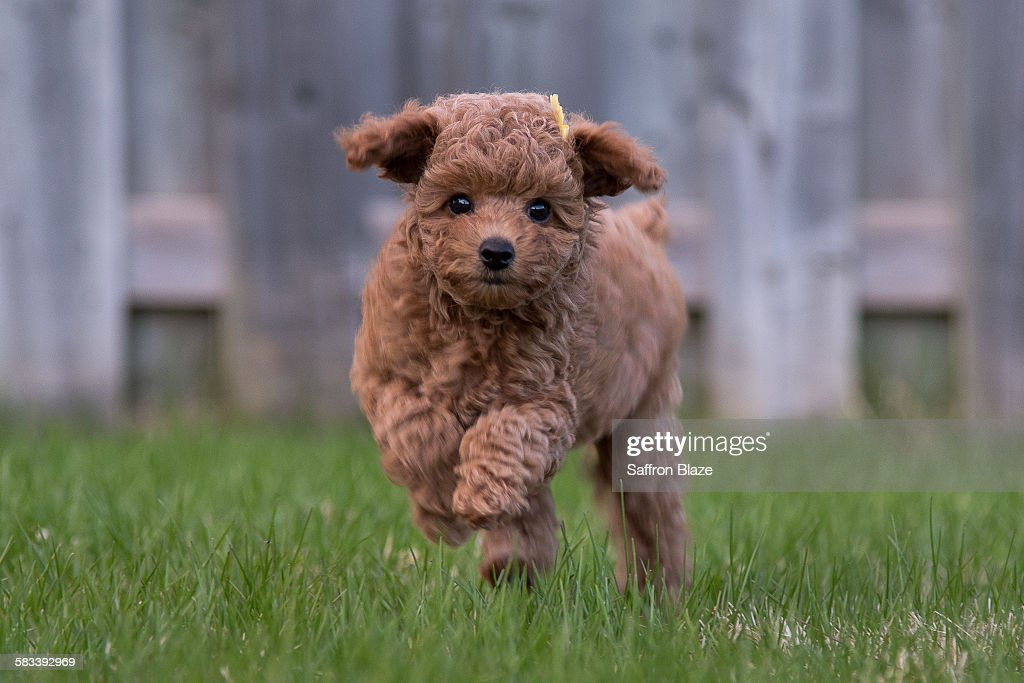 Poodle puppy : Stock Photo