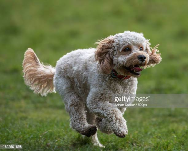 a poodle running in the grass,malahide,ireland - leinster province stock pictures, royalty-free photos & images