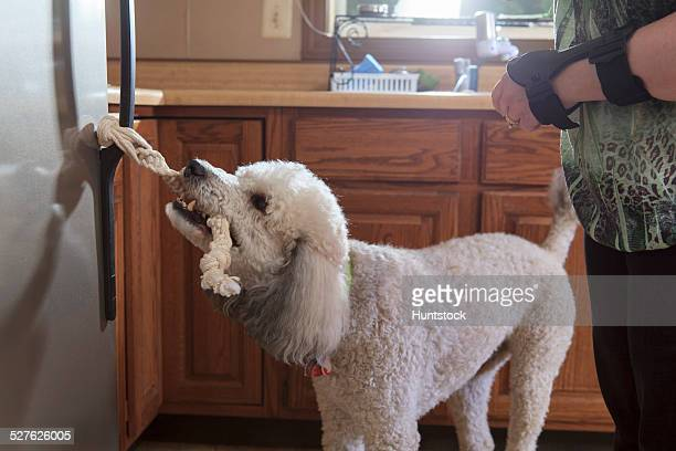 Poodle service dog opening a refrigerator with a handle
