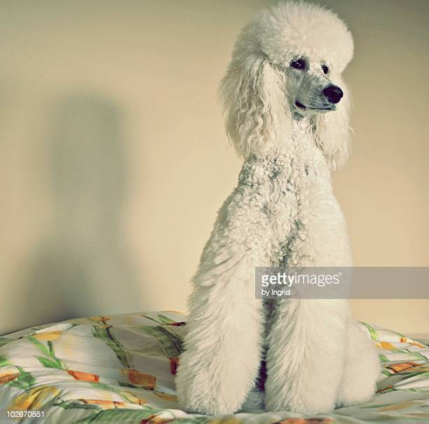 poodle sitting - poodle stock pictures, royalty-free photos & images