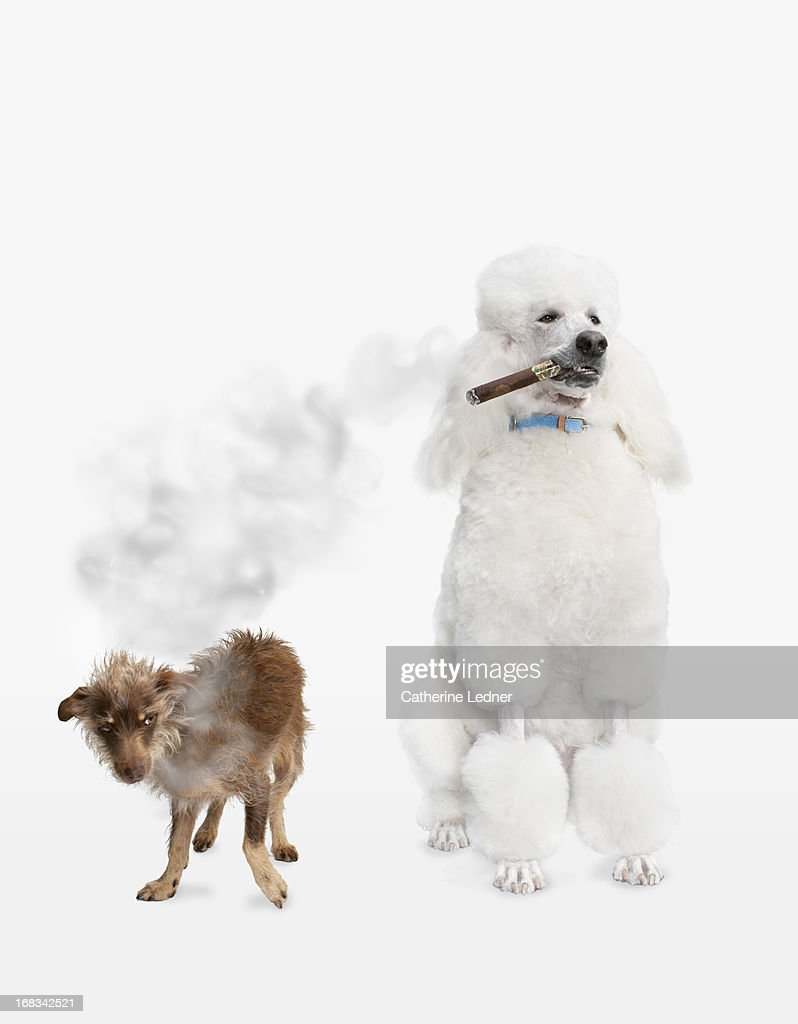 Poodle smoking Cigar with Mutt : Stock Photo
