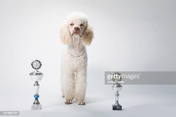 a poodle standing between two trophies - animal win fotografías e imágenes de stock