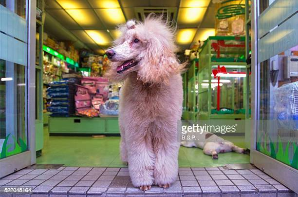 Poodle standing in pet store