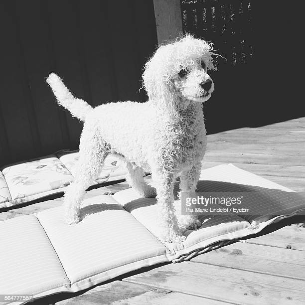 Poodle Standing On Pillow