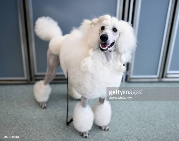Poodle the 7th most popular breed of 2016 is shown at The American Kennel Club Reveals The Most Popular Dog Breeds Of 2016 at AKC Canine Retreat on...