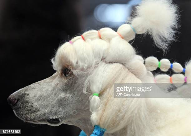 A poodle waits to perform during a contest at the 'World Dog Show' dog fair in Leipzig eastern Germany on November 8 2017 According to the organisers...