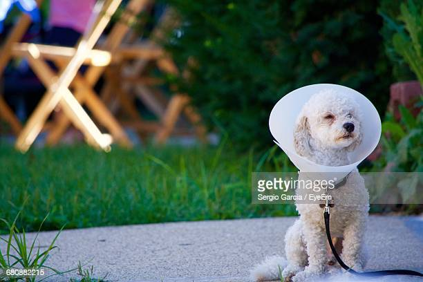 poodle wearing protective collar sitting on footpath - protective collar stock pictures, royalty-free photos & images