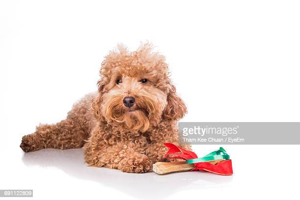 Poodle With Christmas Gift Bone Wrapped With Red Green Ribbon