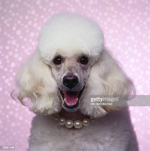 Poodle with pearl necklace