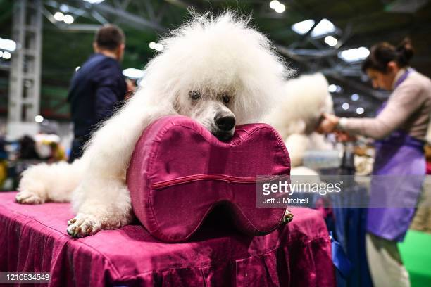 Poodles are prepared ahead of being shown at day one of Crufts 2020 at the National Exhibition Centre on March 5, 2020 in Birmingham, England....