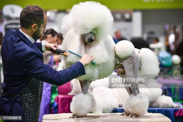 Poodles are prepared ahead of being shown at day one of Crufts 2020 at the National Exhibition Centre on March 5 2020 in Birmingham England Crufts...