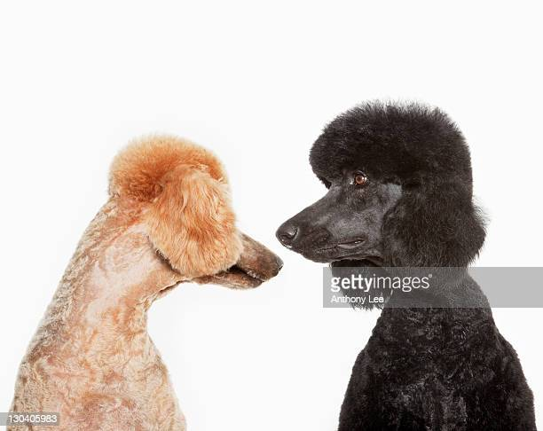 poodles examining each other - standard poodle stock photos and pictures