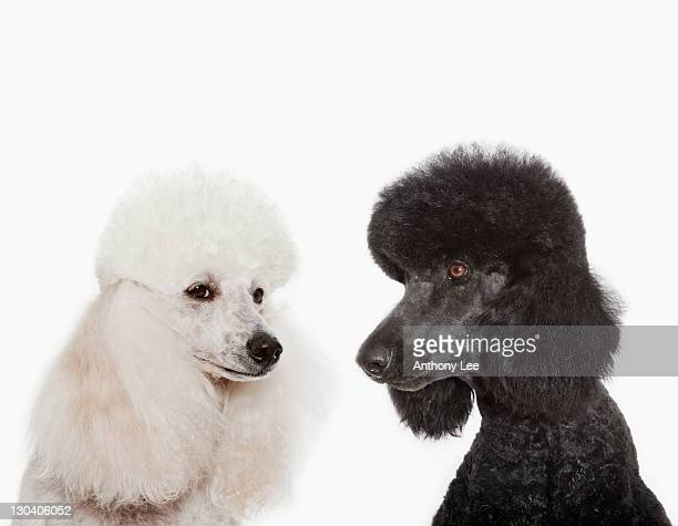 Poodles examining each other