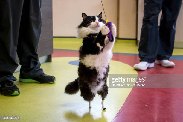 Pooh a oneyearold cat who lost his hind legs in an accident and has been given bionic paws plays with a toy in a vet clinic in Sofia on January 31...