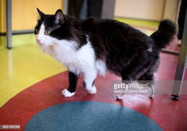 TOPSHOT Pooh a oneyearold cat who lost his hind legs in an accident and has been given bionic paws walks in a vet clinic in Sofia on January 31 2017...